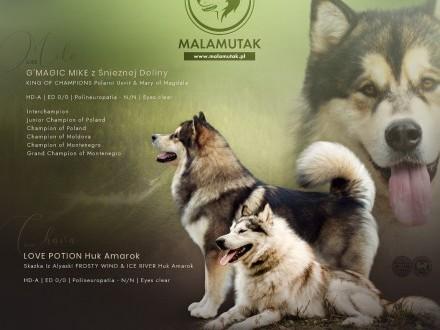 Zapowiedź miotu Alaskan malamute