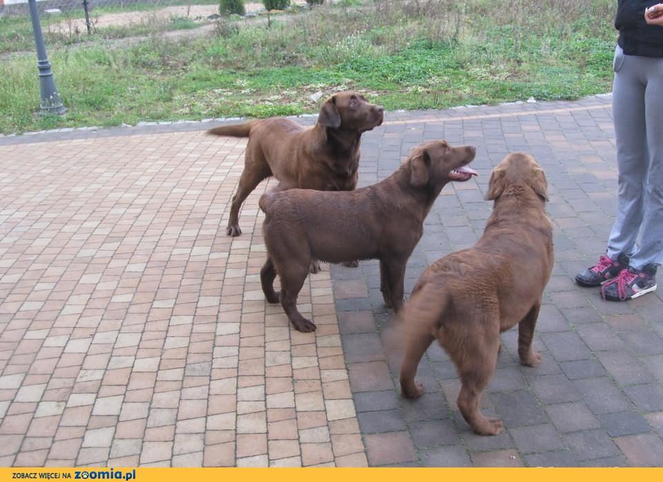 Sprzedam pieski rasy Labrador Retriever