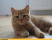 Garfield - rudy kocurek brytyjski gotowy do odbioru              Rodowód