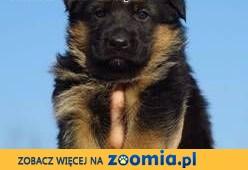 sprzedam owczarki niemieckie ,  warmińsko-mazurskie Nidzica