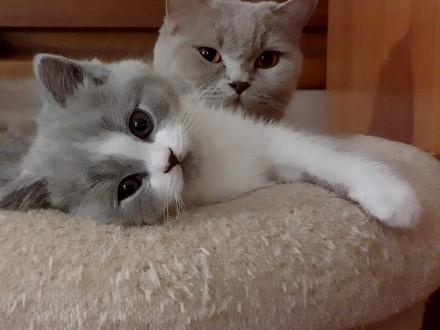 Sprzedam rasowego kota brytyjskiego w kolorze niebieski bicolor