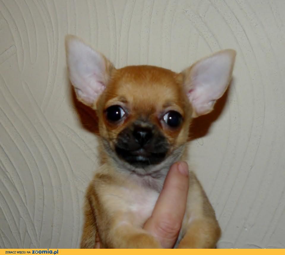 Piękne malutkie sunie Chihuahua