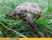 Sprzedam żółwie stepowe+terrarium z wyposażeniem,  łódzkie Łódź