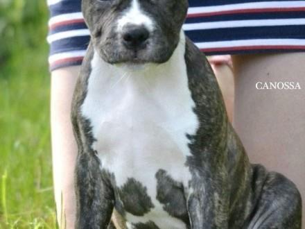 American Staffordshire Terrier suczka z zagranicznego skojarzenia