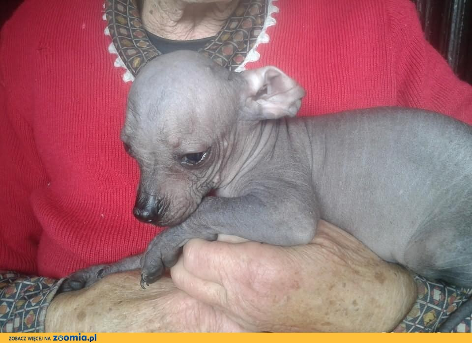 Unikat Nagi Pies Peruwianski