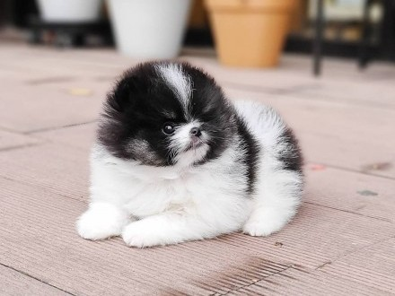 Szczenieta Pomeranian