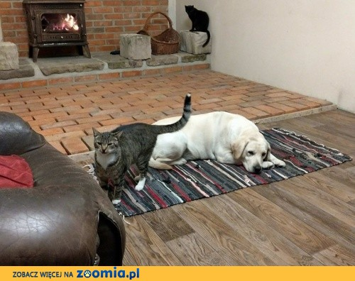 Labradorka Czika - Jak Pies z Kotem___