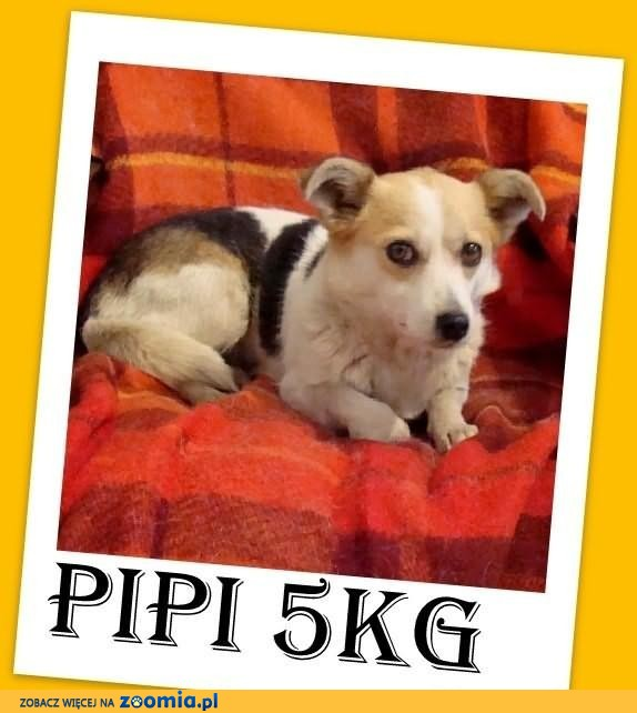 PIPI-mała 6kg,delikatna,bezproblemowa,łagodna suczka.ADOPCJA