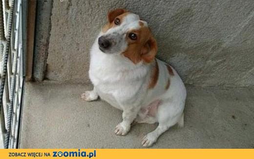 Dolar 4 lata samiec ,  mazowieckie Warszawa