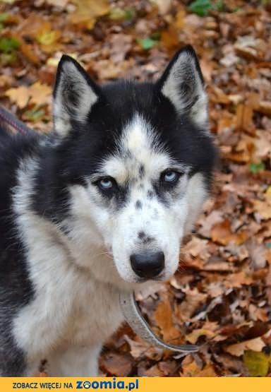 Speedy - pełen energii psiak w typie husky do adopcji