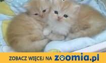Koty perskie , persy ,  podkarpackie Dębica