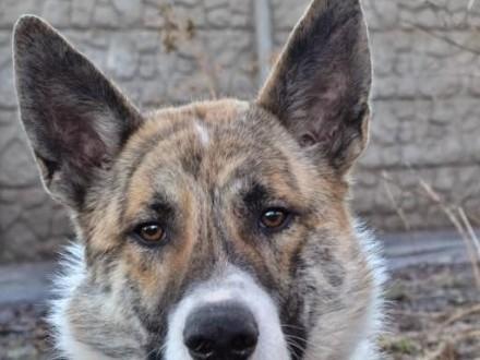 Asan - zjawiskowy pies szuka domu