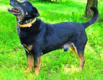 KABANOS - pies wyjątkowy  kocha ludzi  dzieci; do adopcji   łódzkie Łódź