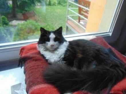 zaginiony kot w typie Maine Coon Zgierz wysoka nagroda-aktualne