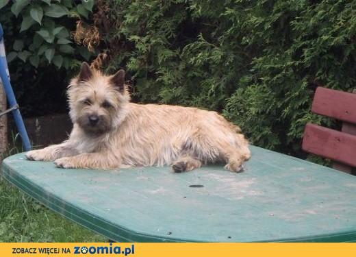 Cairn terrier = west w kolorze szczenieta rodowodowe po championach,  śląskie Katowice