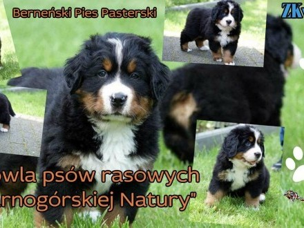 ZkwP - Berneński Pies pasterski - FCI