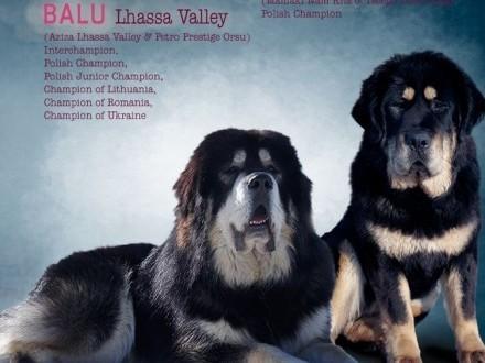 Mastif Tybetański - mamy szczeniaki