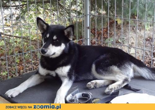 NUGAT- młody i towarzyski pies husky do adopcji