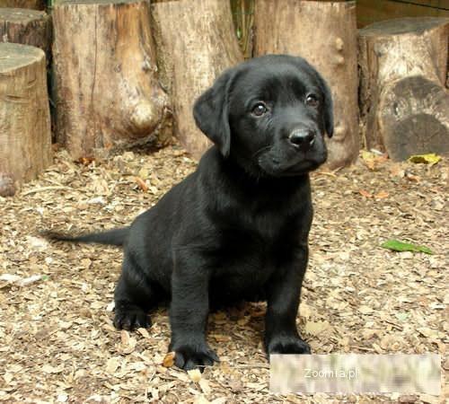 Labrador Czarna suczka rodowodowa na wystawy