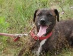 Brutus, terrier mix cudowny, niekonfliktowy psiak do adopcji!