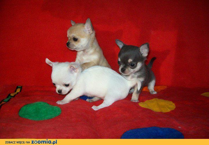 ★ ★ inteligentne Chihuahua szczenięta ★ ★