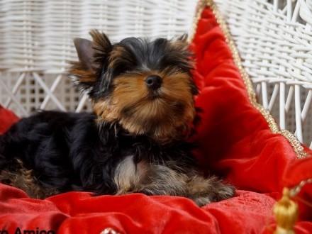Yorkshire Terrier /FCI/ mała suczka