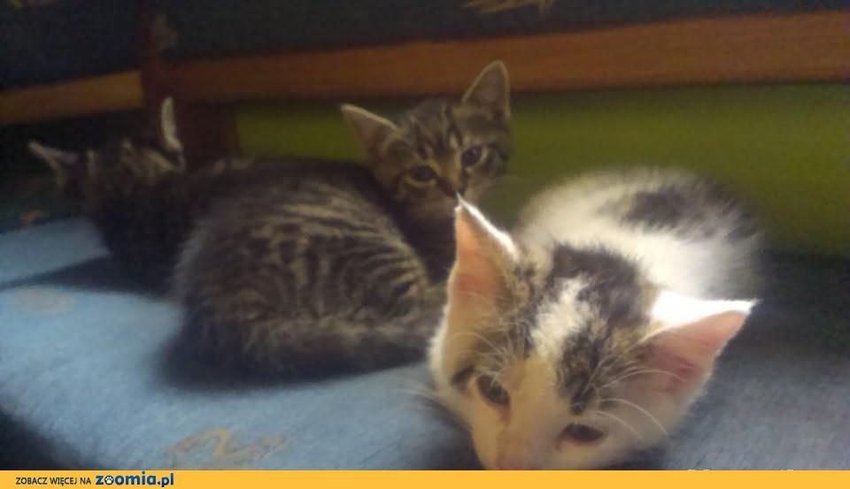 Śliczne małe kotki urodzone 20 kwietnia