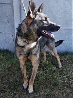 SZARIK - cudowny psiak w typie owczarka  już 3 lata czeka na dom   małopolskie Kraków