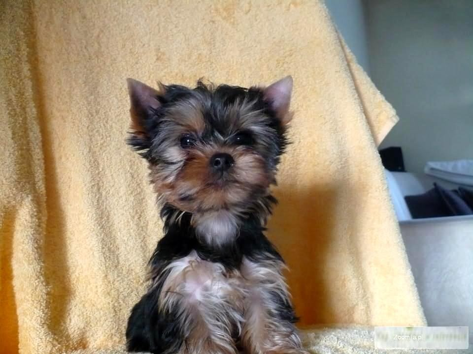 Yorkshire terrier yorki york liczne yorkshire terrier for Ohrensessel york big