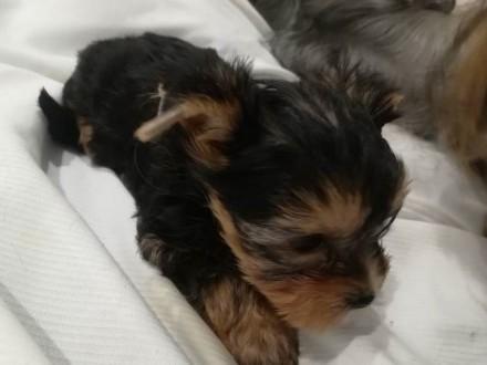 MINI dziewczynka Yorkshire Terrier York Miniaturka+Rodowód+M