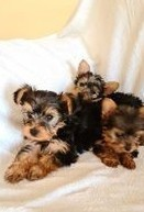 york pups