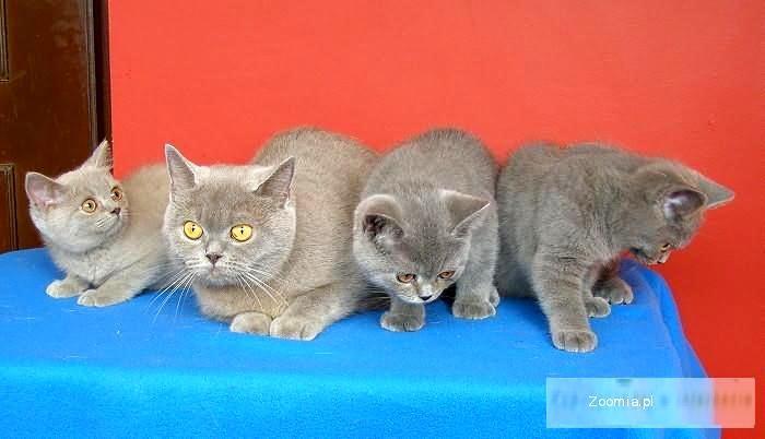 Kocięta Brytyjskie