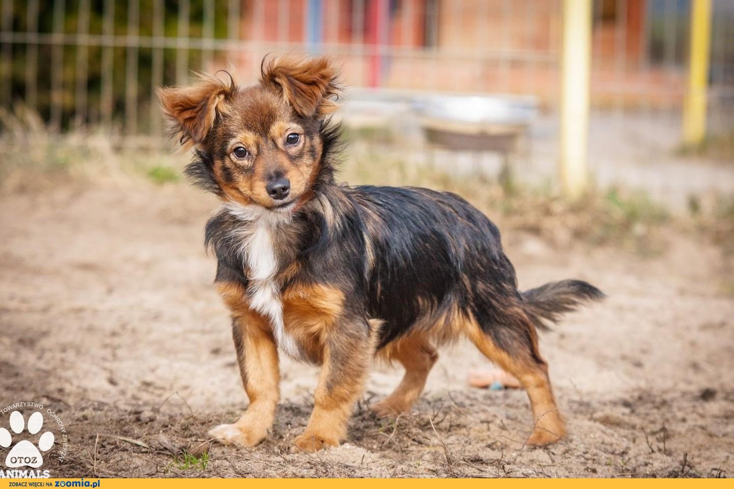 OTOZ Animals - Arczi - kochany, rozbrykany szczeniak szuka super domku