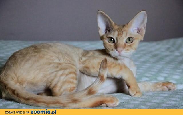 Śliczna ruda kotka Devon Rex              Rodowód