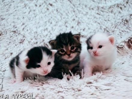 Urocze kocięta syberyjskie z rodowodem FIFe