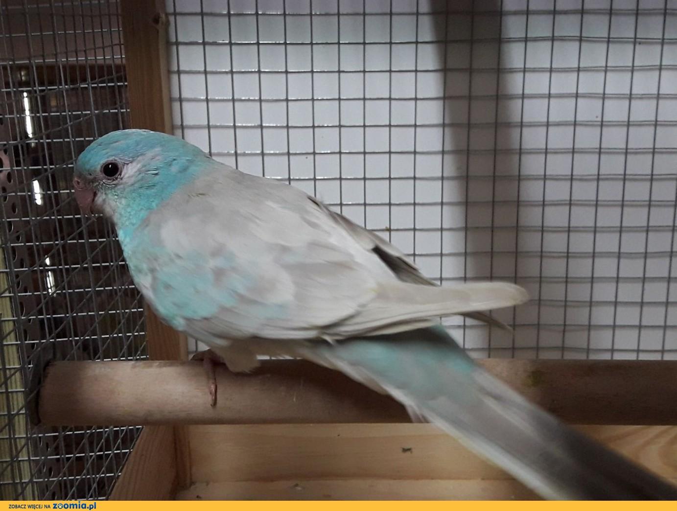 Świergotka nr 1 - papuga, samiec
