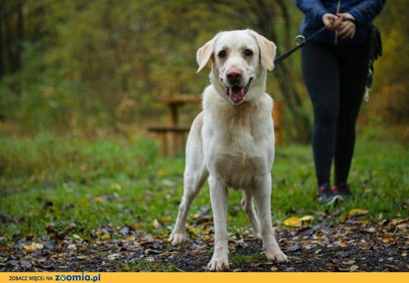 Lolek - uroczy labrador szuka domku