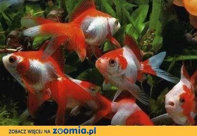 Zamienie rybki molinezje czarne,molinezje żółteoraz mieczyki na welony