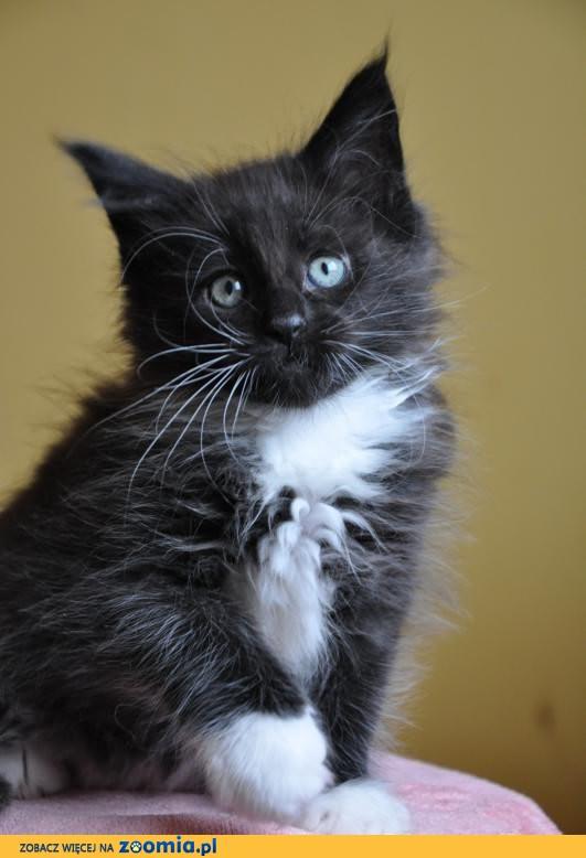 Czarno Biały Kocurek Maine Maine Coon Koty Archiwum Zoomia Pl