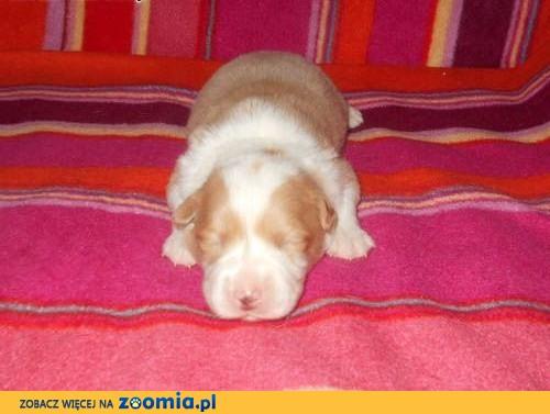 Border Collie rodowodowe szczeniaki ZKwP (FCI) ,  mazowieckie Otwock