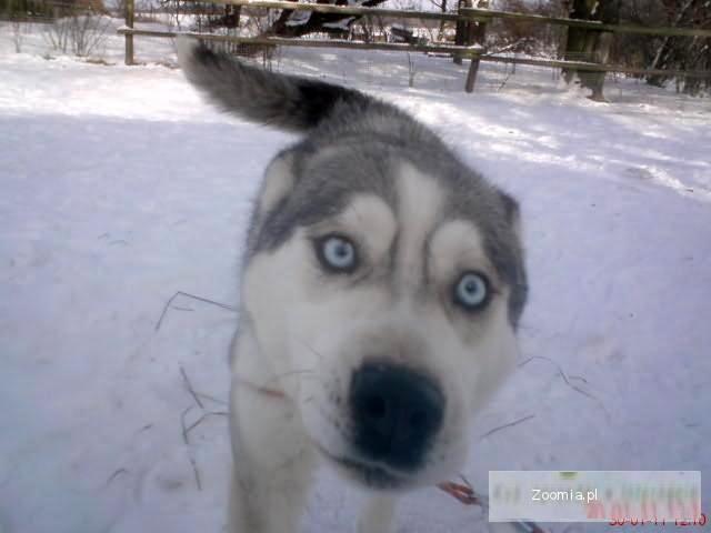Siberian Husky,Syberian Haski,Haskie Syberyjskie