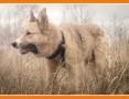 1,5 roczny, średni 18 kg ,do domu z ogródkiem, pies FIGARO_Adopcja