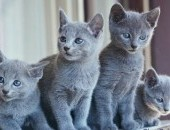 Koty, Kocięta Rosyjskie-Niebieskie z Rodowodami