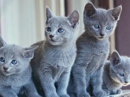 Koty  Kocięta Rosyjskie-Niebieskie z Rodowodami