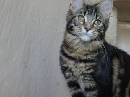 koteczka maine coon   dolnośląskie Wałbrzych