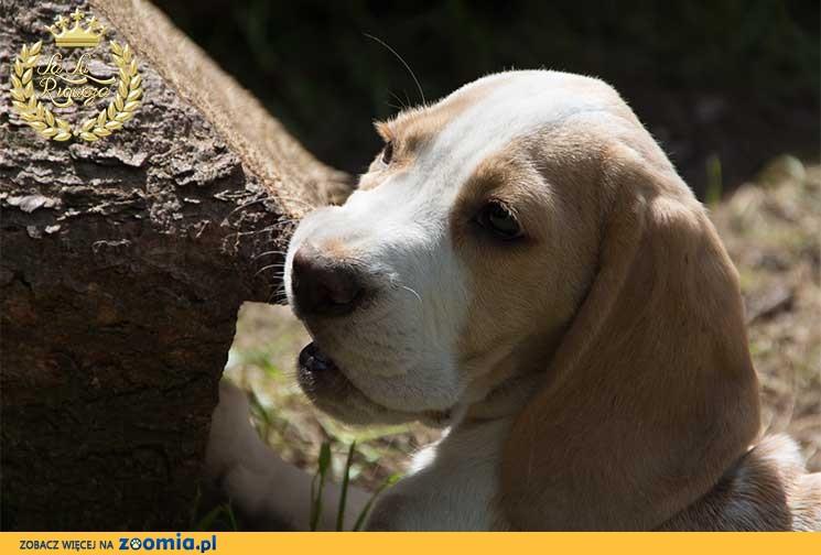 Doskonałe szczeniaki beagle sprzedam
