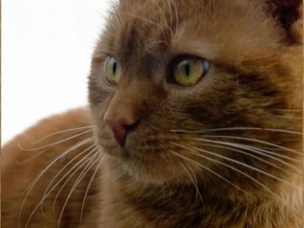 Sympatyczny rudy kot szuka domu bez zwierząt