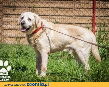 Salvador - porzucony  ze złamanym sercem - labrador do adopcji