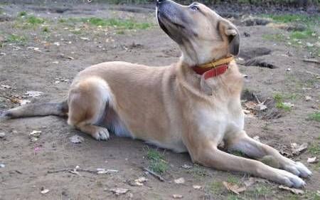 MAFIN - duży  wesoły  świetny pies szuka dobrego domu   mazowieckie Warszawa