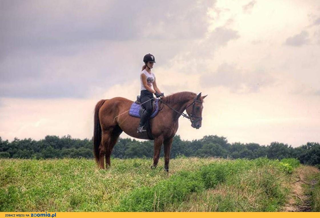 Współdzierżawa konia, wałach